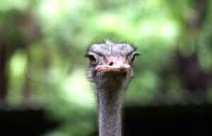 what is an ostrich in golf